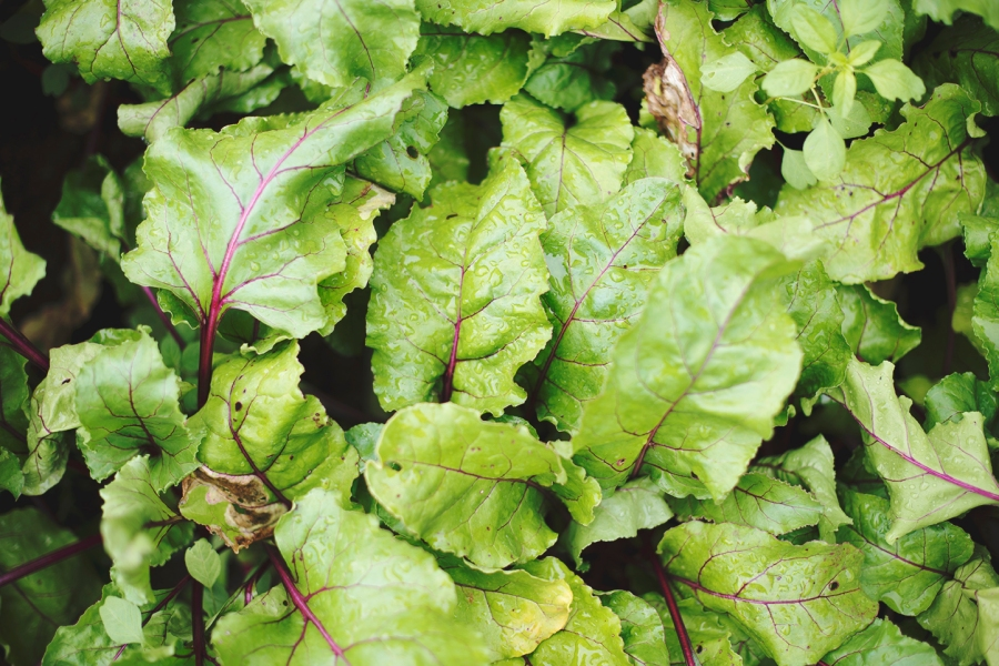 Love how beautiful the beet greens are.