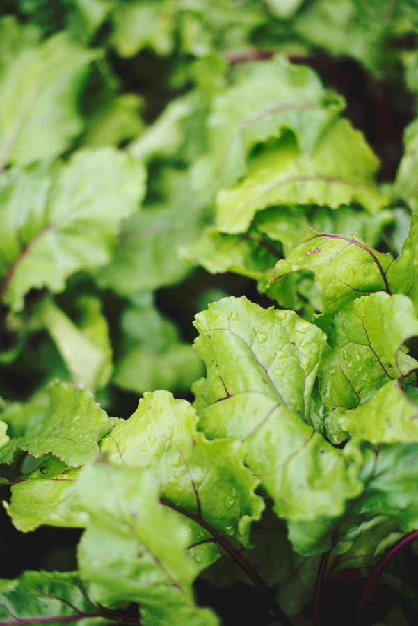 Beautiful beet greens freshly watered.