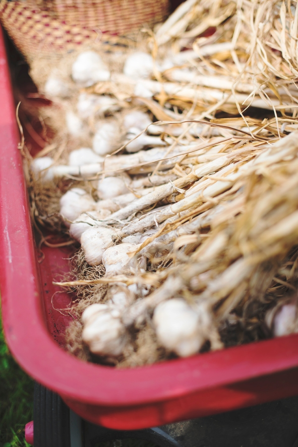 Garlic, dried and ready to store.