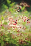 A few blackberries are ripe!